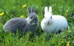 Костромская область закупила во Франции элитных кроликов на развод