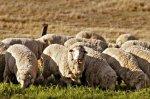 В республике Тыва овцеводство и козоводство - перспективные виды животноводства