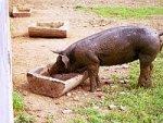 Российское свиноводство конкурентоспособно и привлекательно для инвесторов