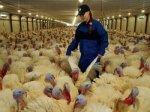 В Ставропольском крае строится комплекс по выращиванию и переработке мяса индейки