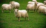 Кабинет министров Украины предлагает снизить экспортные пошлины на КРС и овец до 5%