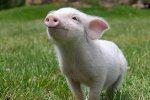 Страхование с господдержкой для свиноводов