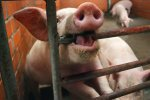 Эксперты: Чума свиней стоила России более 30 млрд руб.