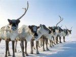 На поддержку оленеводства в Чукотском АО направят 3,8 миллиарда рублей