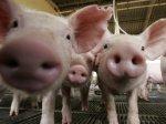 В Курской области открыли свинокомплекс на 2 700 свиноматок