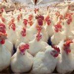 Белорусский госконтроль выявил проблемы в птицеводстве