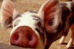 Татарстан: в 2013 году в целях профилактики АЧС проверено 445 свиноферм