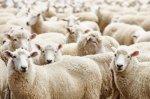 Фермеры Тамбовской области всерьез задумались сделать выбор в пользу овцеводства