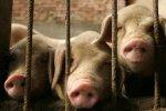 Белоруссия: запрещен ввоз свинины из Украины