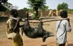 Создание вакцины против африканской чумы свиней планируется завершить к 2016 году