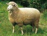 В Ставропольском крае ученые займутся выведением новой породы овец