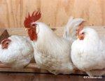 Таджикистан: Будущее сельского хозяйства - за птицеводством