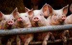 Украина и Россия начали вести переговоры по поставкам свинины в условиях борьбы с АЧС