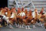 Яичные птицефабрики уходят в бройлерное производство