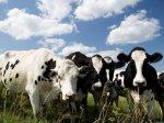 В Московской области за последние 10 лет поголовье коров в Подмосковье сократилось на 45 %