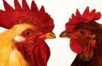 РФ к 2020 году намерена нарастить производство мяса птицы до более 6 млн тонн в год
