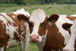 В Беларуси будут выводить голландских коров?