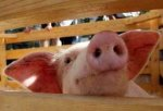 Запрет на ввоз свинины из стран Евросоюза создал сложности калининградским предприятиям.