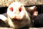 С начала года в России зарегистрировано 4 очага АЧС среди домашних свиней