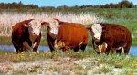 В Рязанской области Кораблинские животноводы всерьёз намерены разводить герефордов