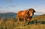 Стоимость экспорта ирландского мяса и скота выросла