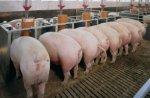Россельхознадзор: Россия не пострадает от прекращения поставок свинины из Украины на фоне АЧС