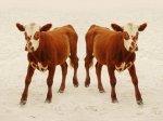 ЕС: Члены Европарламента потребовали от Еврокомиссии более жесткого предложения о запрете клонирования скота