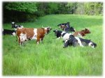 Почему украинские фермеры продают коров за рубеж