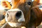 В Ростовской области выросло поголовье крупного рогатого скота