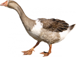 Минсельхоз предлагает развивать в России нетрадиционное птицеводство
