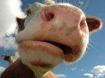 Калининград увеличит поголовье мясных пород КРС