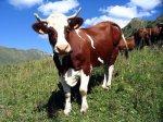 После введения нового техрегламента на мясо держать личный скот будет убыточно