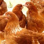 В Рязанской области делают ставку на новый племенной кросс кур