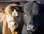 На Украине наблюдается положительная динамика развития отрасли животноводства