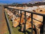 В Северной Осетии-Алании отмечается рост мясного поголовья КРС