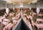 Россельхозбанк усилит поддержку свиноводческой отрасли России