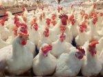 Птицефабрика Казахстана планирует экспортировать продукцию в Россию