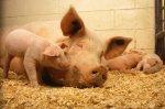 Франция прекращает импорт свиной продукци