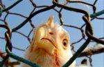 """В супермаркетах Австралии будут продавать только """"гуманную"""" курятину"""