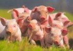 В России уменьшается поголовье свиней
