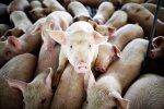 На фермах США рецидив свиного вируса