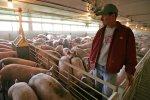 Количество свиноводческих ферм в США сократилось на 60 процентов