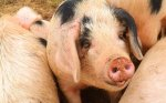 В Китае отмечается сокращение поголовья свиней