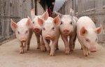 Минсельхоз провел анализ результатов работы подотрасли свиноводства в первом квартале 2014 года