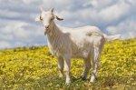 Растет мировой спрос на козлятину из Австралии