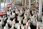 Все больше дагестанских птицефабрик переходит на современное оборудование