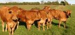 Западный Казахстан занялся развитием мясного скотоводства