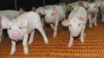 Беларусь ограничила ввоз и транзит свинины из Латвии из-за АЧС