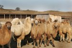 Первая верблюжья ферма Татарстана окупилась спустя два года