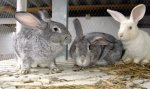 В Пензенской области подготовят проект развития кролиководства